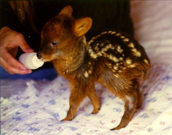 pudu deer photo